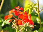 Bloemen in Lassi - Kefalonia - Foto 309