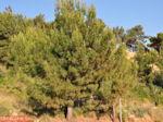 Dennebomen Lassi - Kefalonia - Foto 503